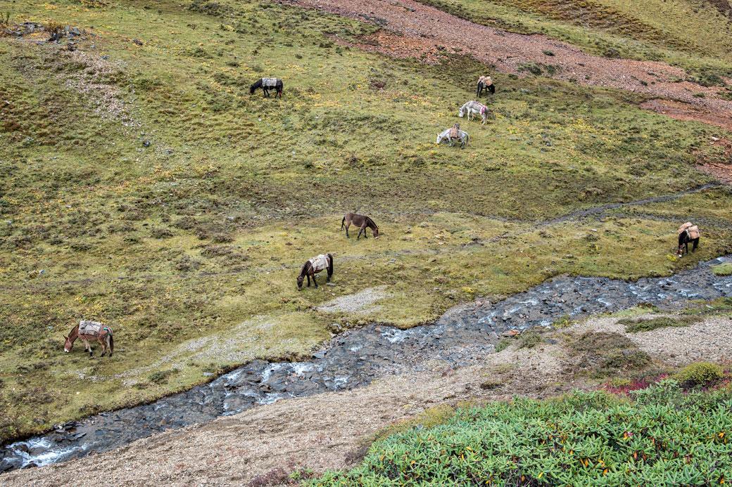 Chevaux qui paissent au bord d'une rivière, Bhoutan