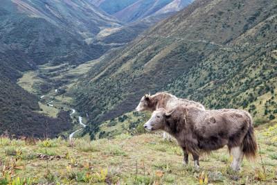 Yaks au-dessus d'une vallée entre Lingshi et Chebisa, Bhoutan