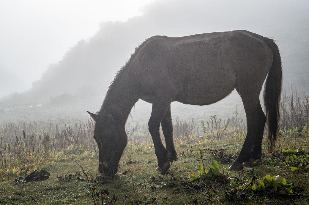 Cheval qui broute dans la brume à Chebisa, Bhoutan