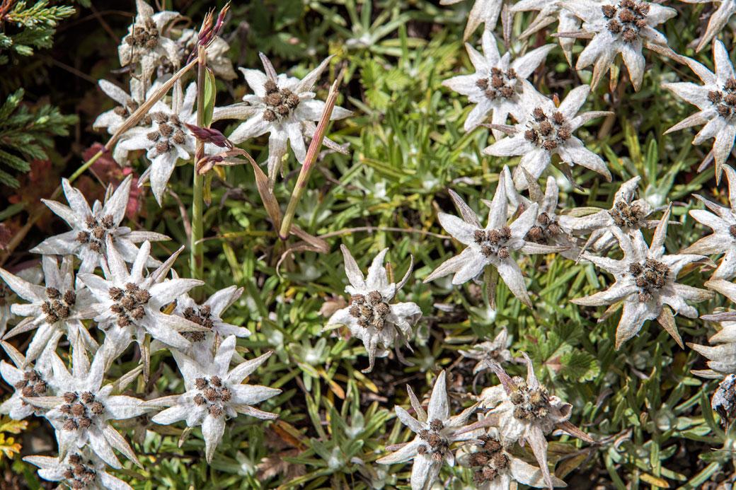 Edelweiss de l'Himalaya près du col de Gombu La, Bhoutan