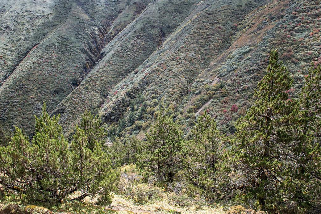 Végétation entre le col de Gombu La et Shomuthang, Bhoutan