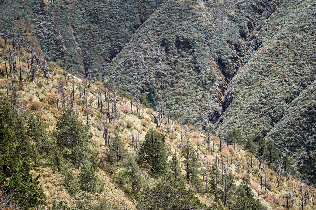 Arbres morts entre Gombu La et Shomuthang, Bhoutan