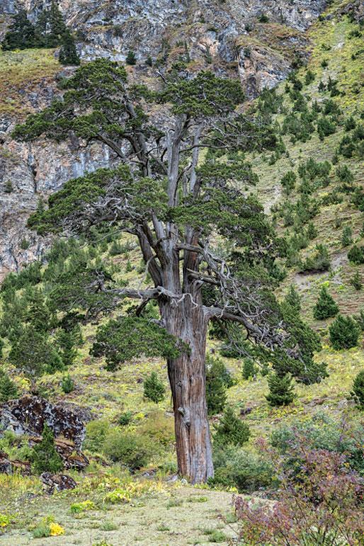 Bel arbre près de Chebisa, Bhoutan