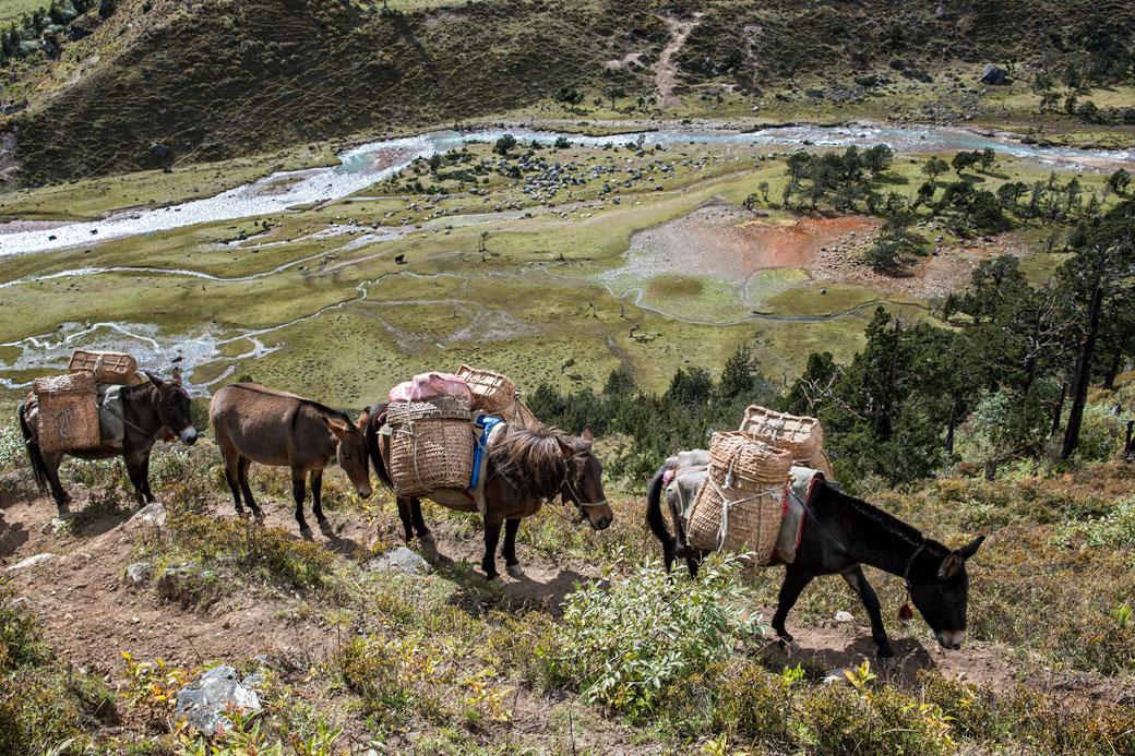 Mules et chevaux près de Robluthang, Bhoutan