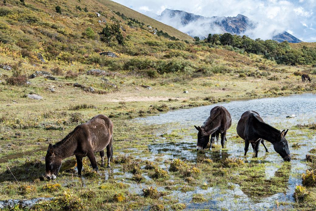 Des mules se restaurent à Robluthang, Bhoutan