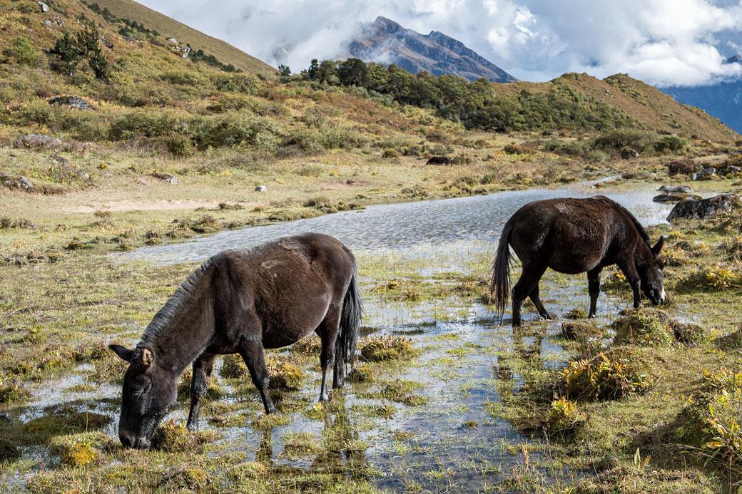 Mules qui broutent dans un plan d'eau à Robluthang, Bhoutan