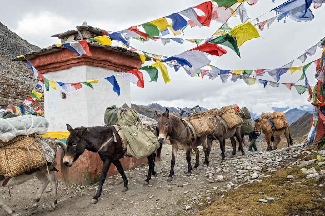 Mules et chevaux au col de Sinche La, Bhoutan