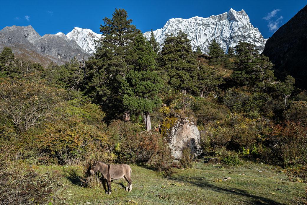 Âne au pied du Gangchhenta à Lemithang, Bhoutan