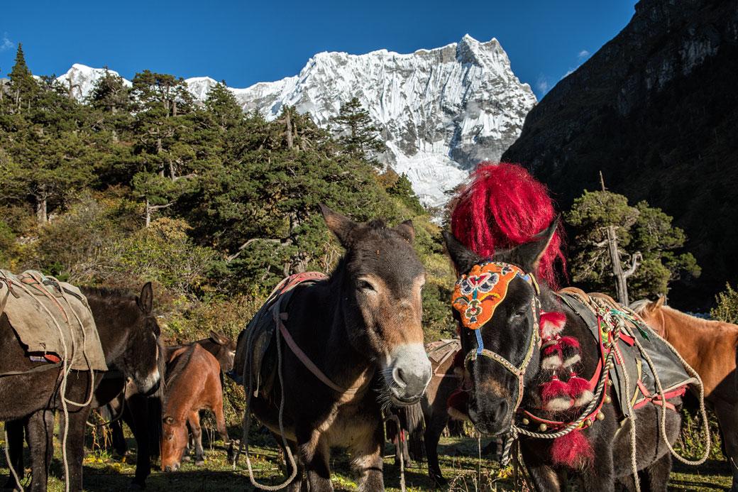 Mulets et chevaux au pied du Gangchhenta, Bhoutan