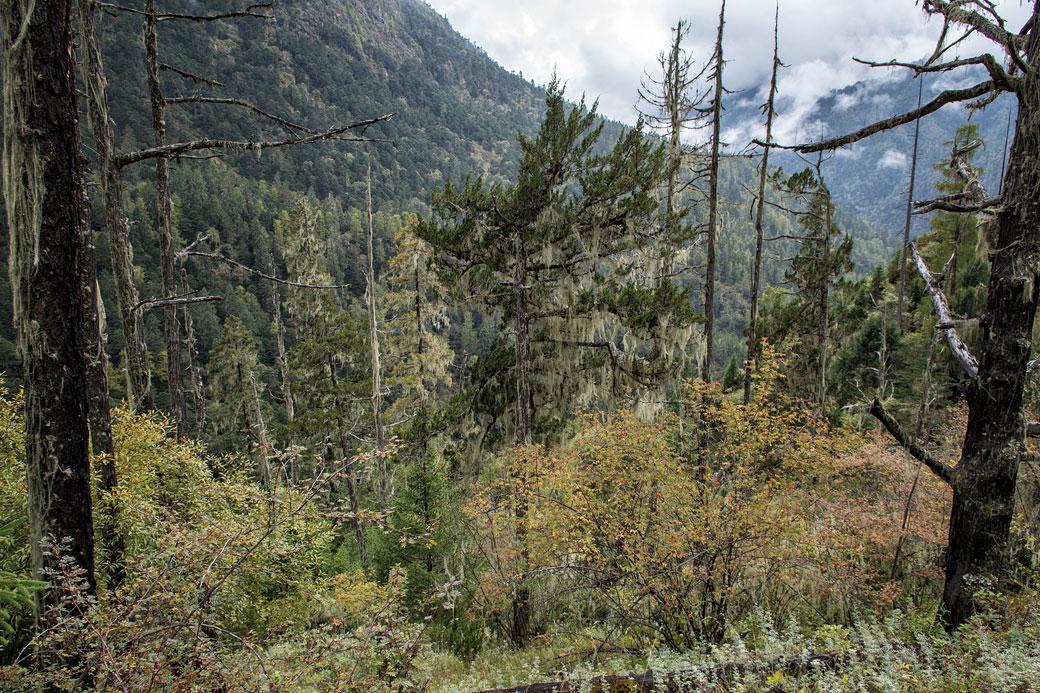 Arbres morts et forêt entre Laya et Rodophu, Bhoutan