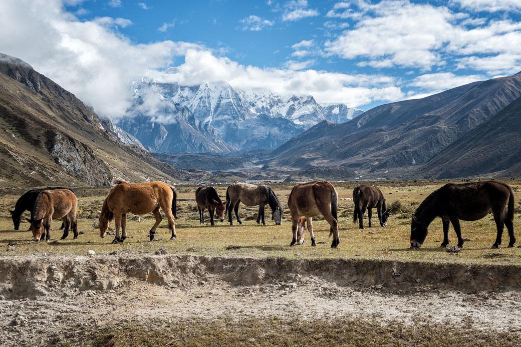 Chevaux et mules dans une prairie à Chozo, Bhoutan