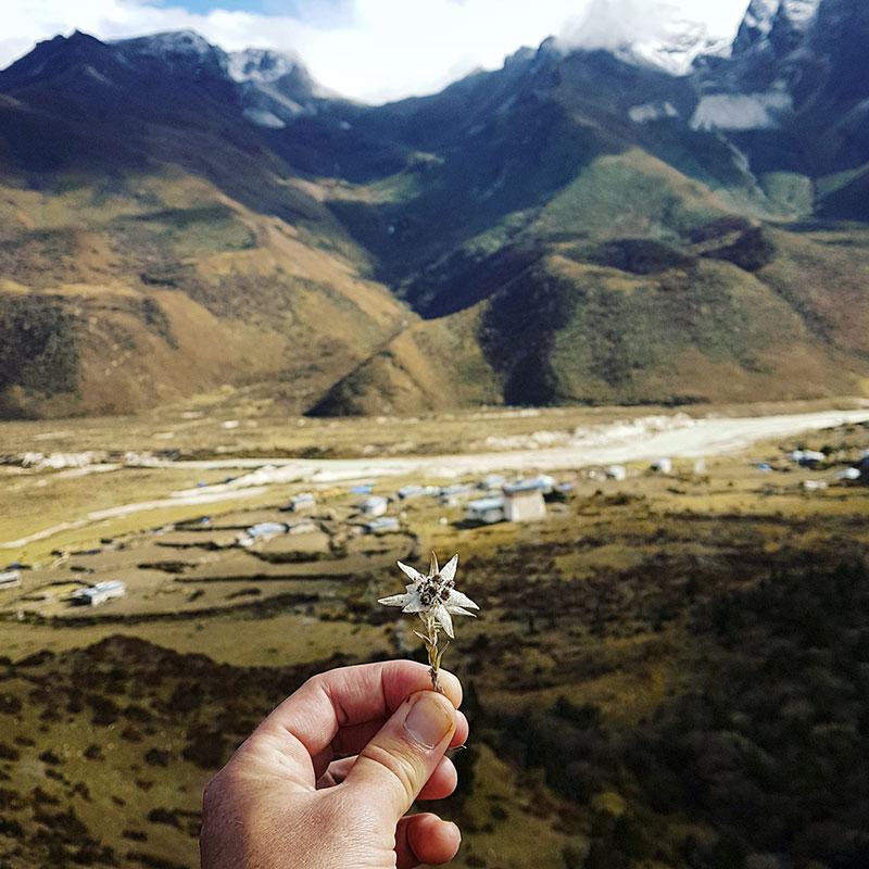 Edelweiss de l'Himalaya au-dessus du village de Chozo, Bhoutan