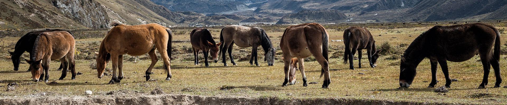 Top image chevaux et mules à Chozo, Bhoutan