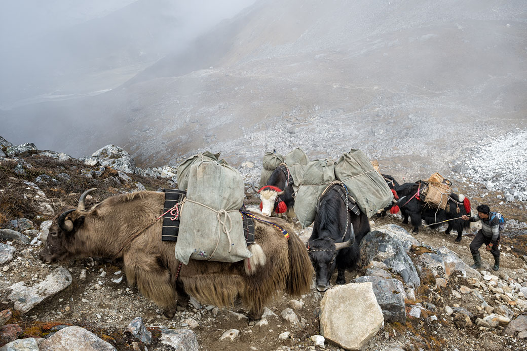Yaks lors de la montée au col de Sintia La, Bhoutan