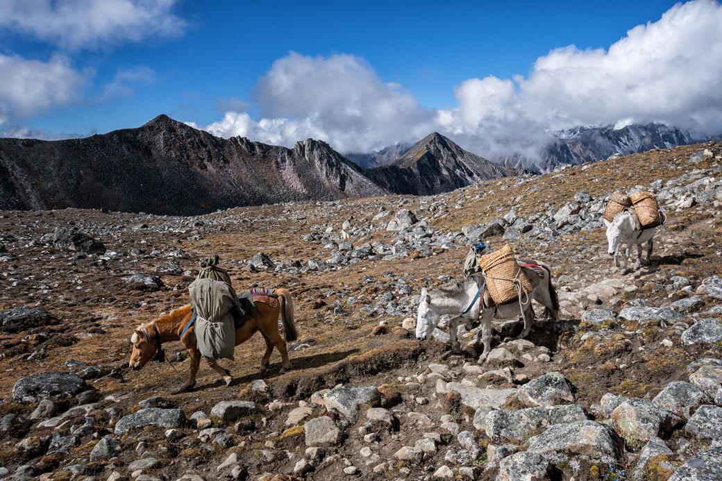 Animaux de portage en route pour Jichu Dramo, Bhoutan