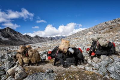 Trois yaks en route pour Jichu Dramo, Bhoutan