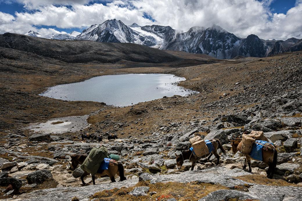 Bêtes de somme qui franchissent le col de Loju La, Bhoutan
