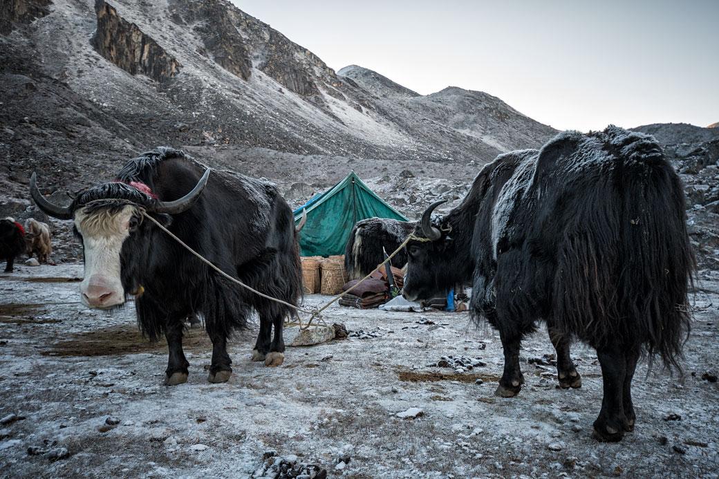 Yaks au bivouac de Jichu Dramo, Bhoutan
