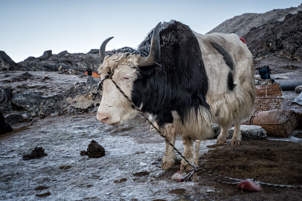 Yak givré au camp de Jichu Dramo, Bhoutan