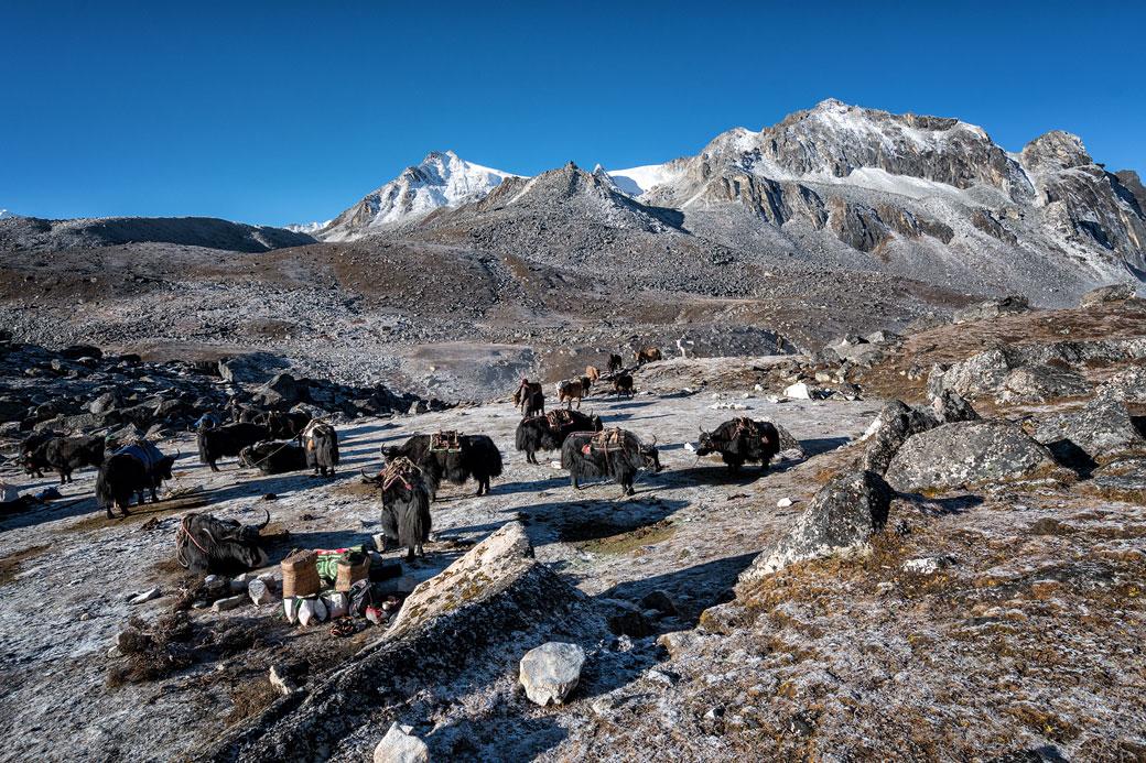 Yaks et givre au camp de Jichu Dramo, Bhoutan