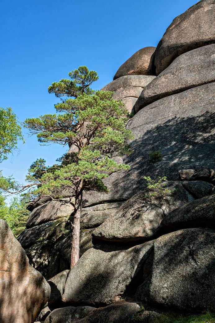 Pin qui pousse sur la roche du premier pilier de Stolby, Russie