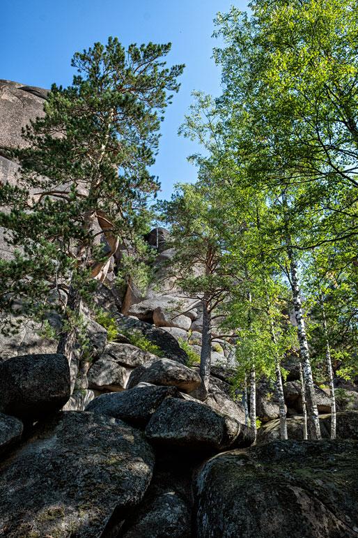 Bouleaux et pins près du premier pilier de Stolby, Russie