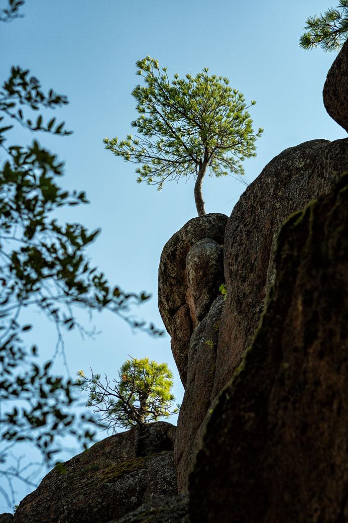 Arbres sur le rocher de la porte du lion à Stolby, Russie
