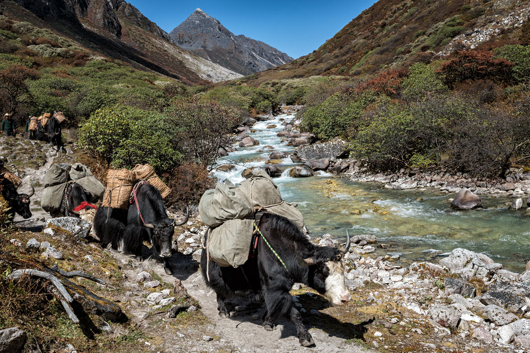 Yaks dans la vallée de Thampe Chhu, Bhoutan