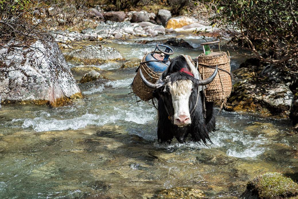 Yak chargé qui se rafraîchit dans la rivière, Bhoutan