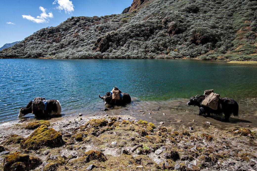 Yaks qui se rafraîchissent dans un petit lac, Bhoutan