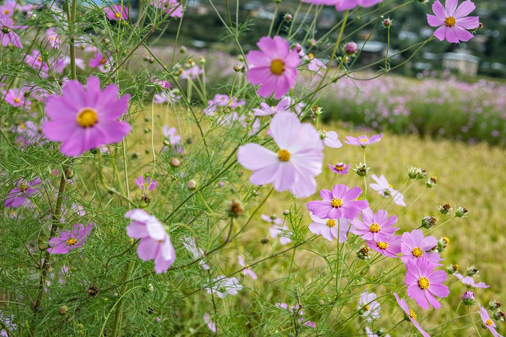 Fleurs roses à Paro, Bhoutan
