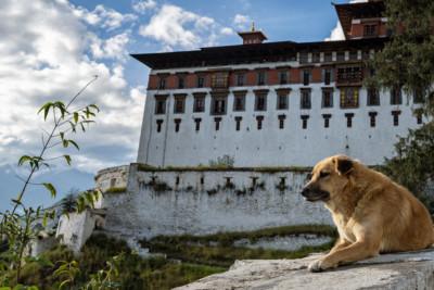 Chien devant le dzong de Paro, Bhoutan
