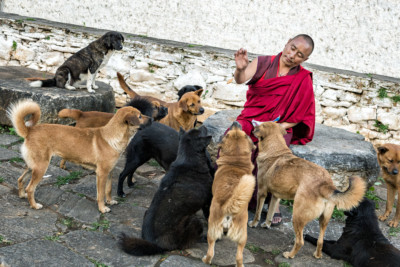 Moine qui nourrit des chiens près du dzong de Paro, Bhoutan