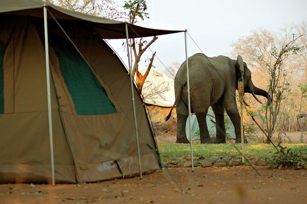 Éléphant près des tentes dans un campement, Zambie