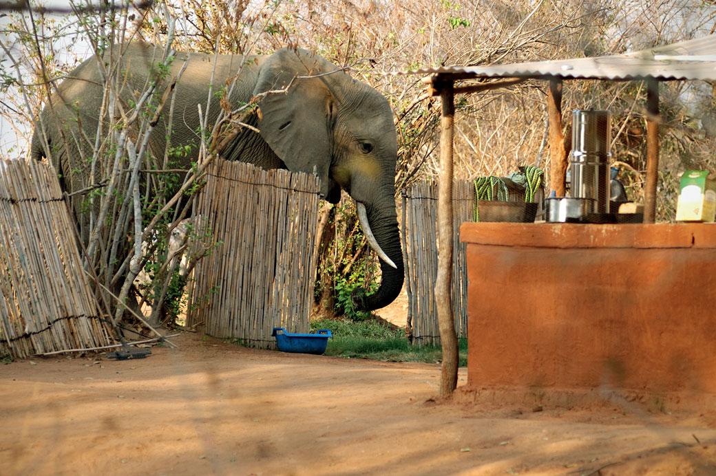 Éléphant près du bar dans un campement, Zambie