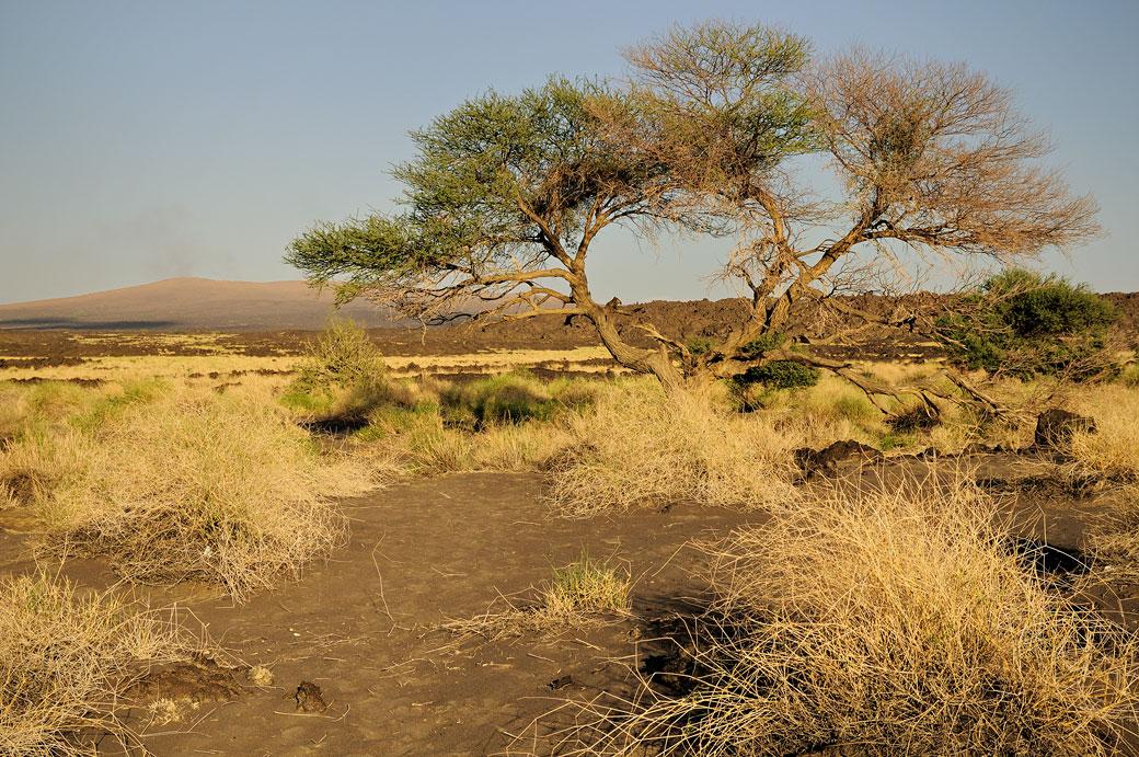 Arbre au pied du volcan Erta Ale, Ethiopie