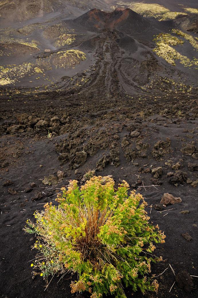 Plante et ancienne coulée de lave sur le Mont Etna en Sicile