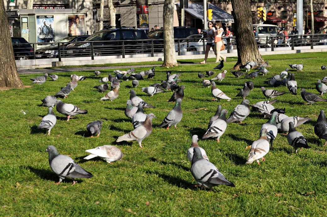 Nombreux pigeons dans un parc de Barcelone, Espagne