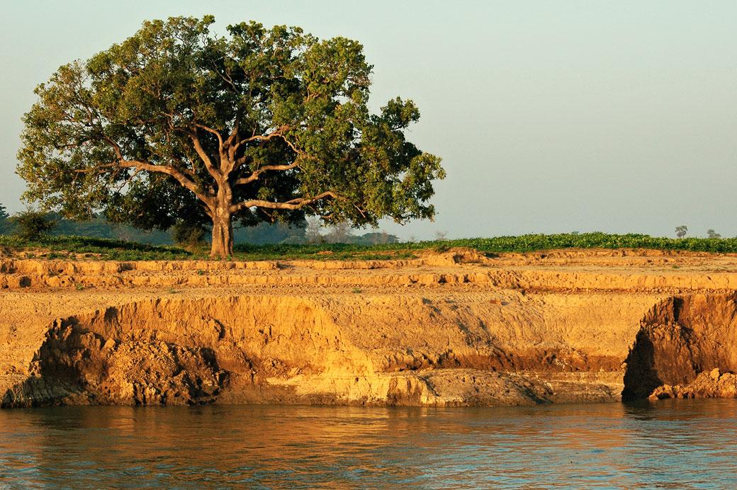 Erosion et grand arbre sur une berge de l'Irrawaddy, Birmanie