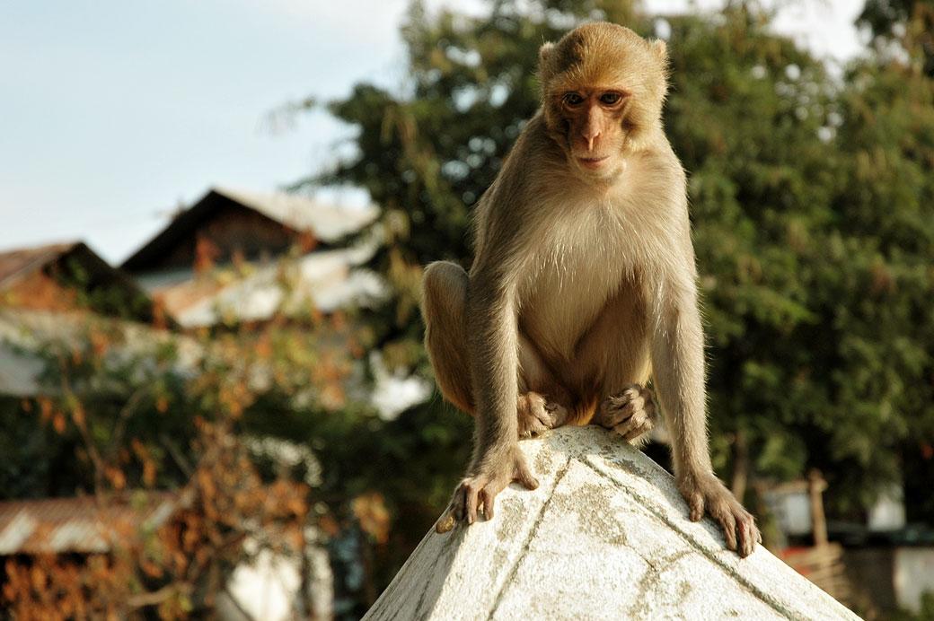 Singe aux grottes de Po Win Taung, Birmanie