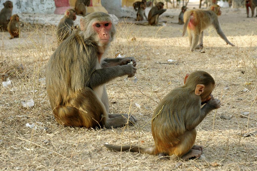 Nombreux singes aux grottes de Po Win Taung, Birmanie
