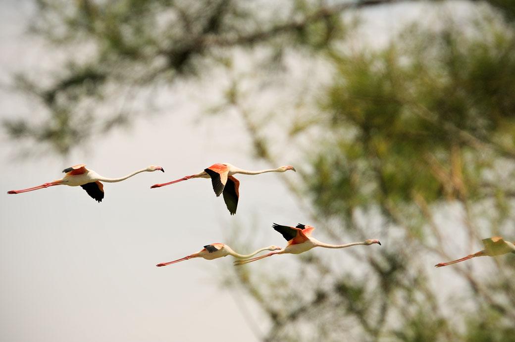 Vol de flamants roses au Parc Ornithologique du Pont de Gau, France