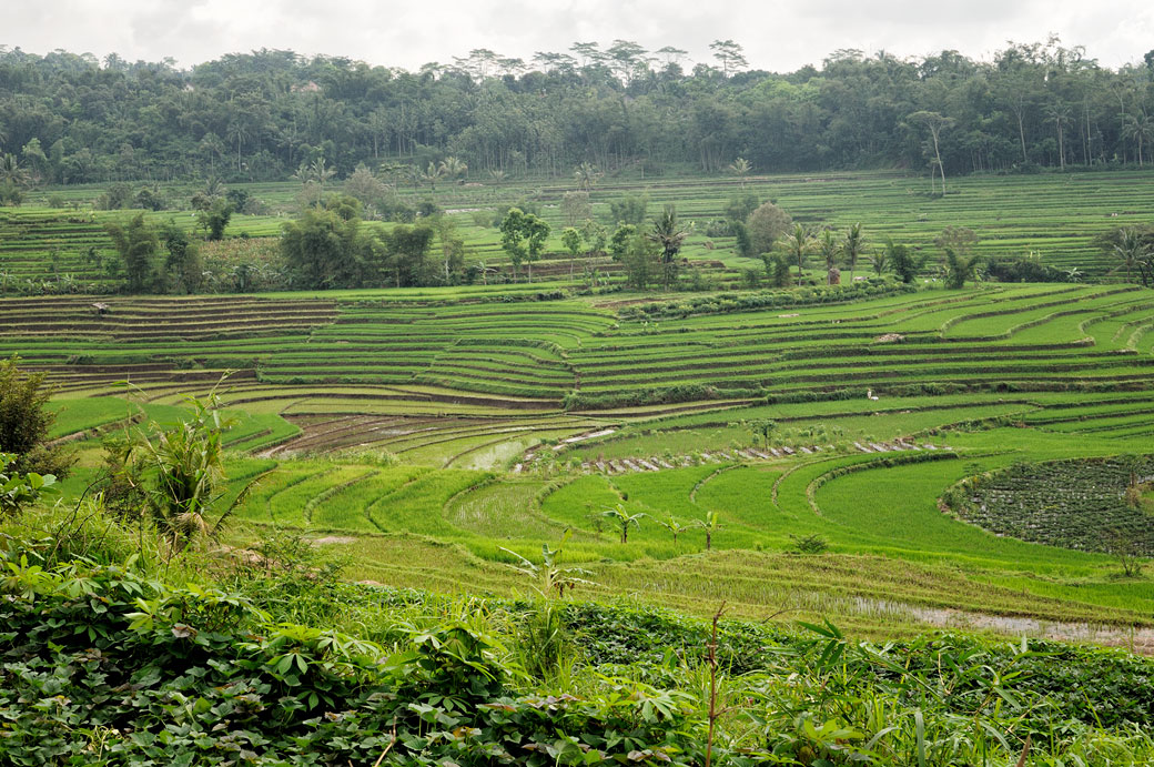Rizières en terrasse dans la région de Magelang, Indonésie