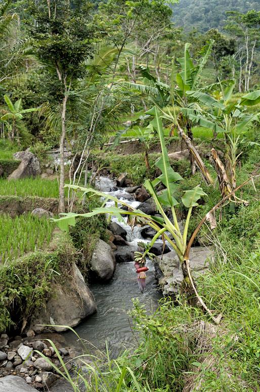 Ruisseau et bananiers près de Magelang, Indonésie