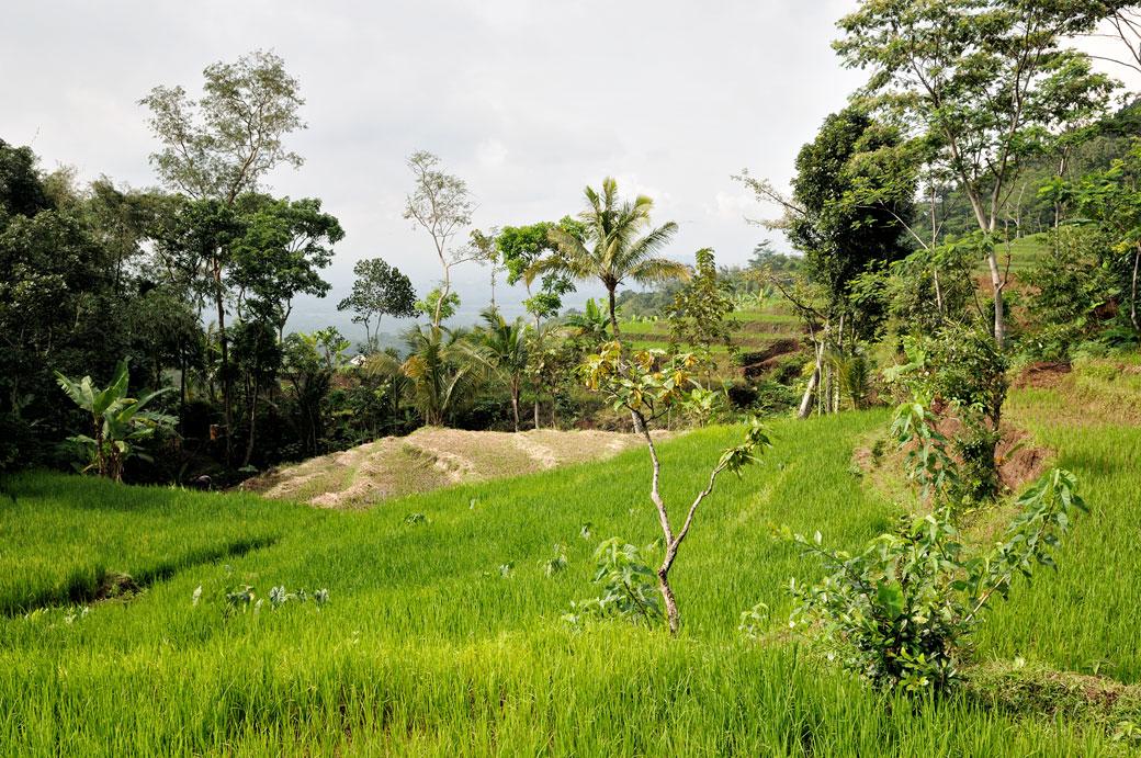 Rizières et végétation dans la région de Magelang, Indonésie