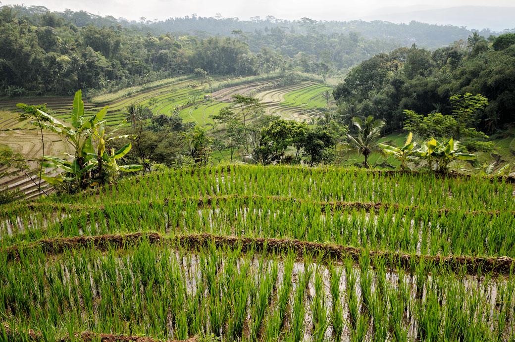 Rizières et forêt sur l'île de Java près de Magelang, Indonésie