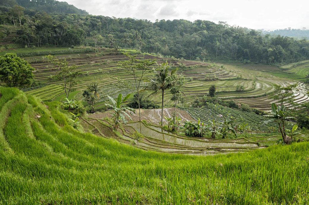 Rizières en terrasse sur l'île de Java près de Magelang, Indonésie