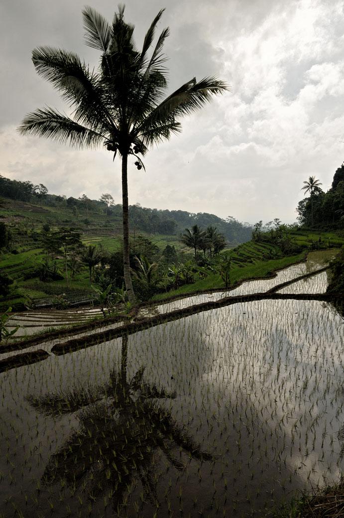 Réflexion d'un palmier dans une rizière de Java, Indonésie