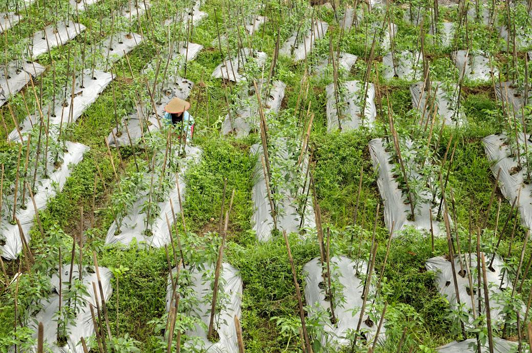 Femme dans une plantation près de Magelang, Vietnam