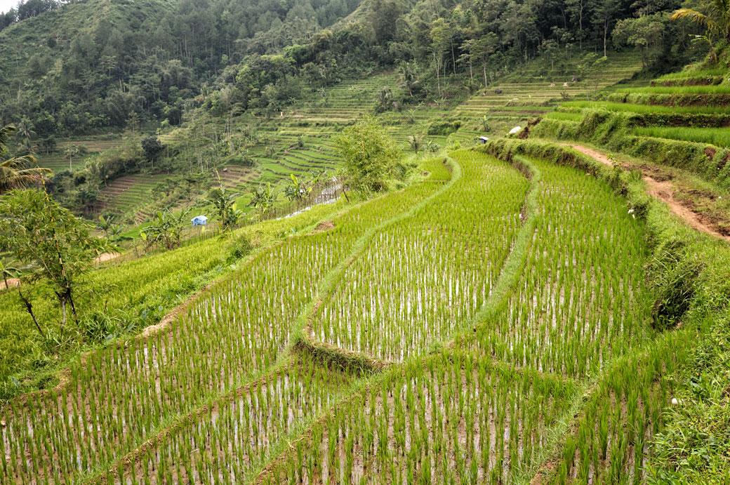 Rizières en terrasse et forêt près de Magelang, Indonésie